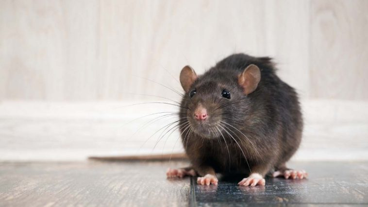 brown rat in a house