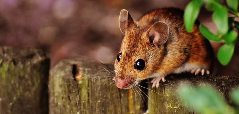 Top 9 Signs You Have Mice In Your Attic - DIY Rodent Removal