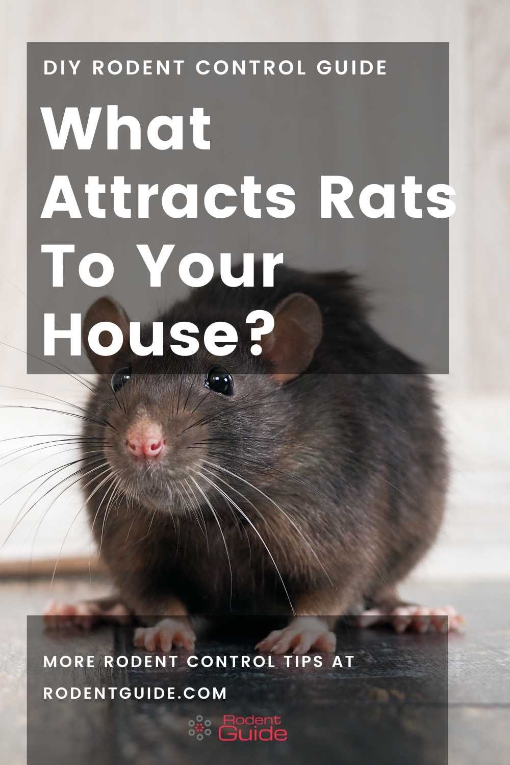 What Attracts Rats To Your House
