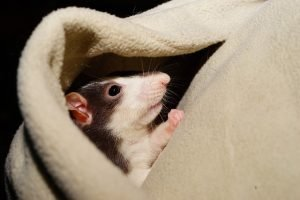 Rat in comfortable pocket