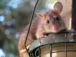 Rat attracted to easy access, sitting on lamp looking at camera