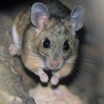 How To Get Rid Of Mice Urine Odor Today