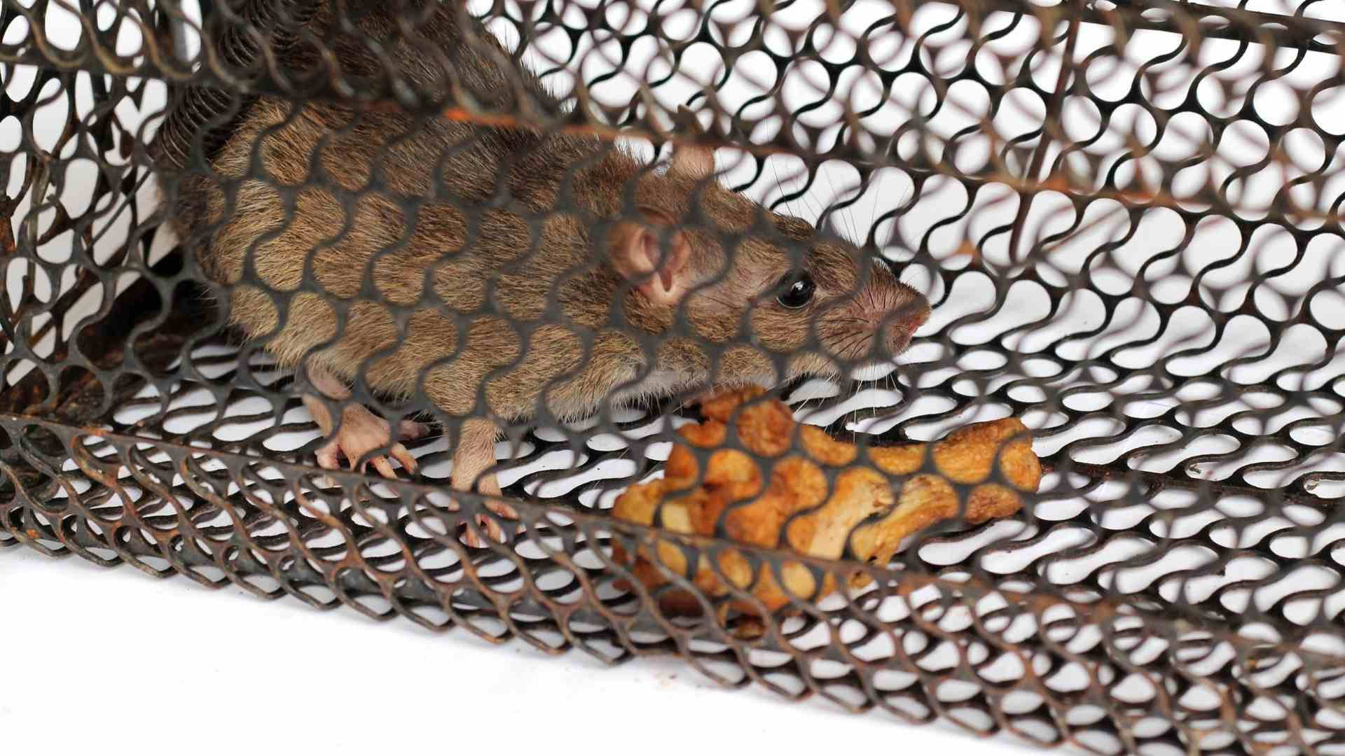 rat in cage with rat bait meat