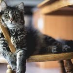 grey cat on wooden chair relaxing cat safe mouse traps