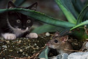 attracting a mouse from hiding place