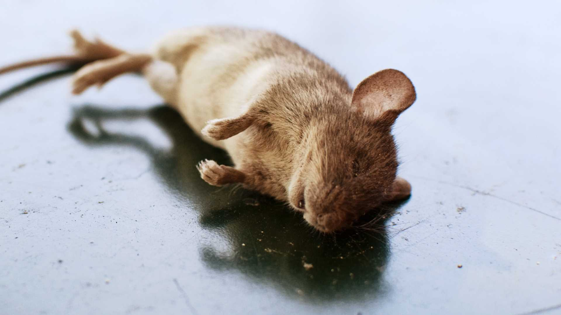 get rid of dead mice smell