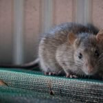 How Far Do Rats Travel From Their Nest?