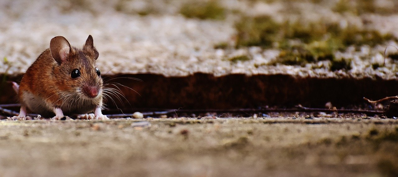 Mice In Walls But Not In House Massive Problem Diy Rodent Control