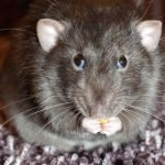 8 Reasons Why Rats Are Dangerous
