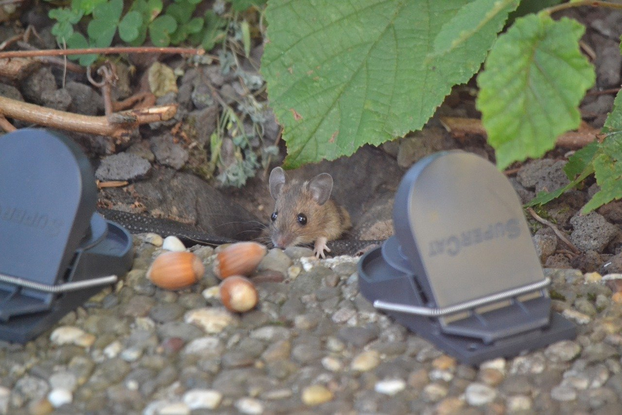 Mouse Caught In Trap Not Dead Here Are The Options Diy Rodent Control