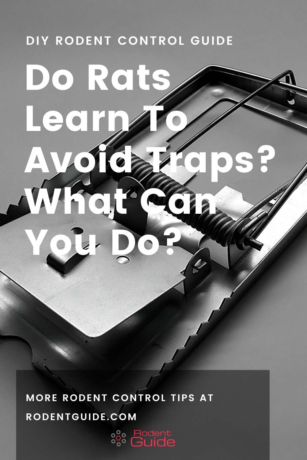 rat questions Do Rats Learn To Avoid Traps