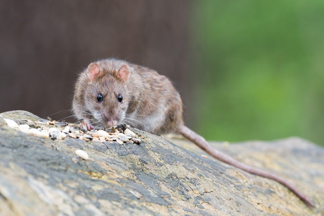 Best Homemade Rat Repellent Options