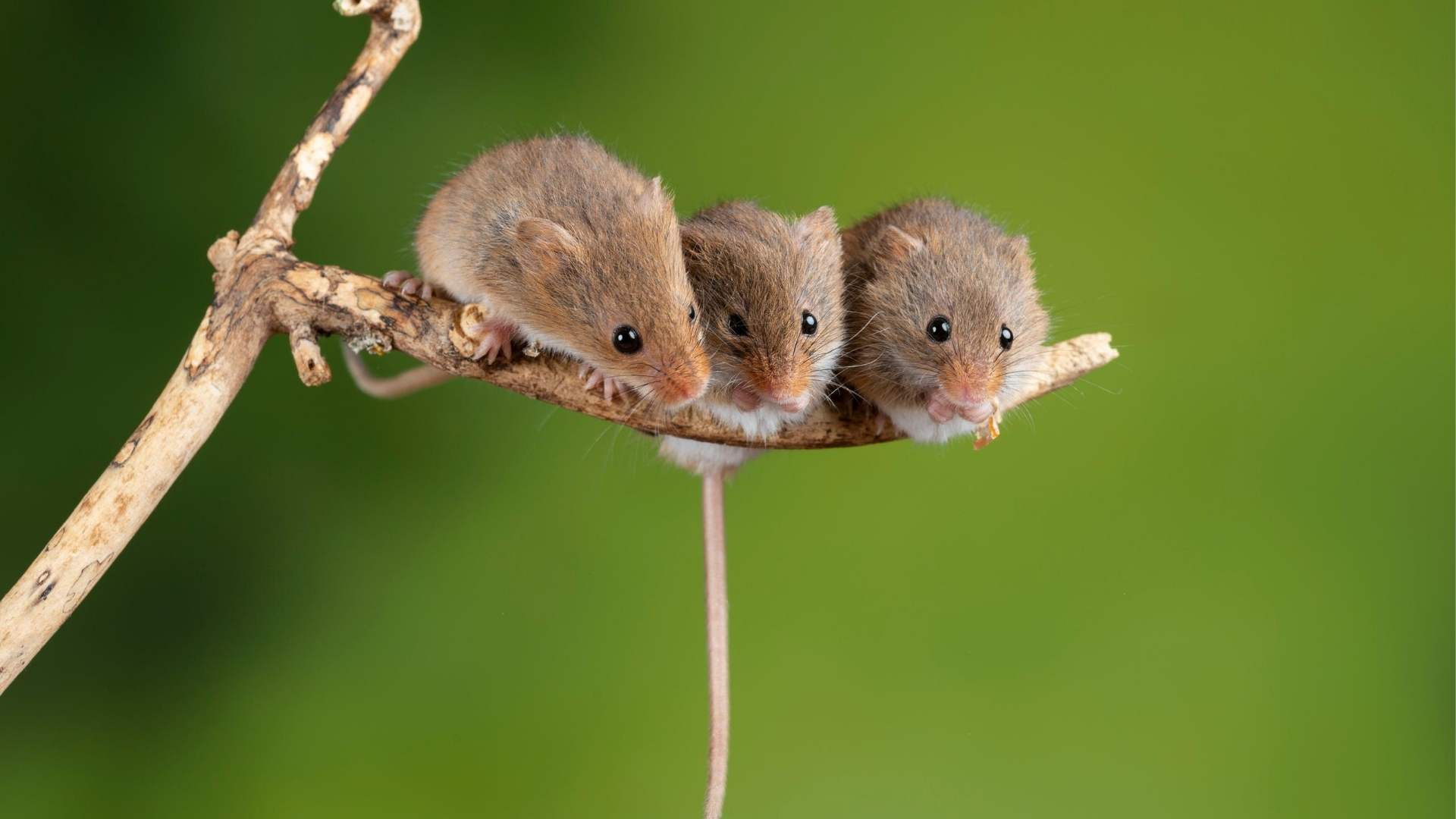 Do Mice Travel Alone Or In Packs