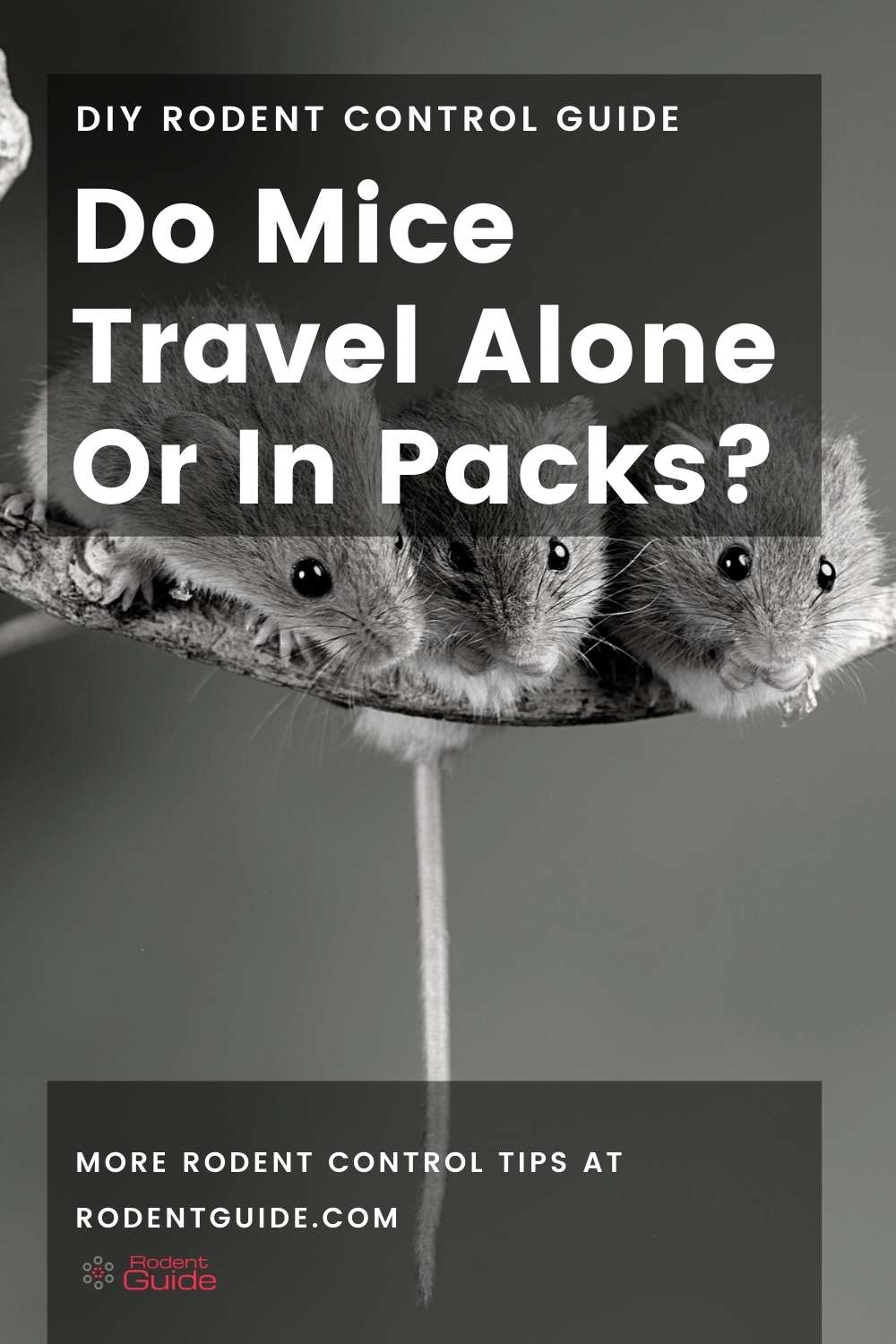 Do Mice Travel Alone Or In Packs_