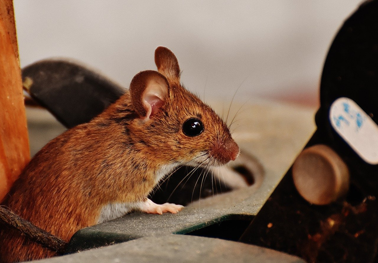 Why Do I Have Mice In My House? 7 Reasons - DIY Rodent Removal