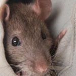 How to Lure a Rat Out of Hiding - 5 Tips