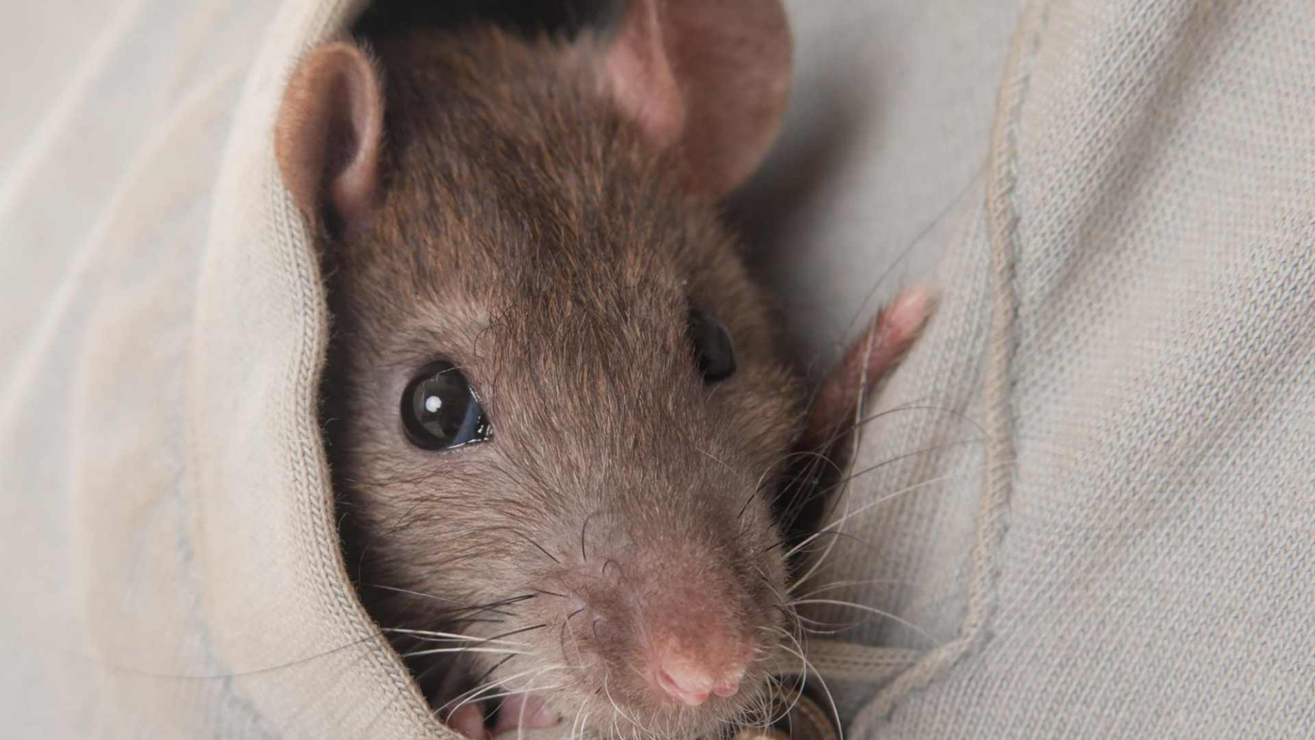 lure a rat out of hiding place