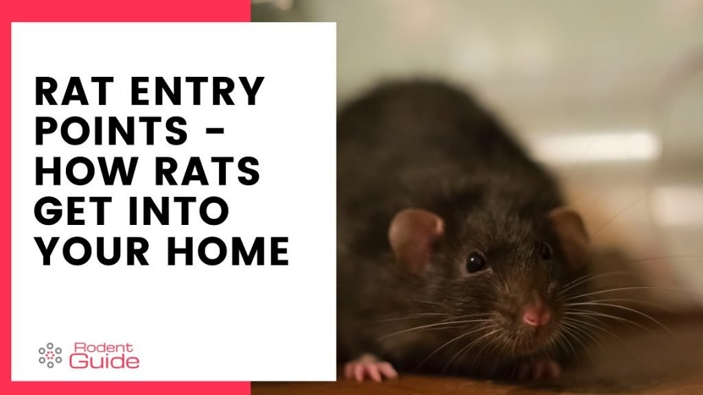 Rat Entry Points Common Entry Points For Rats