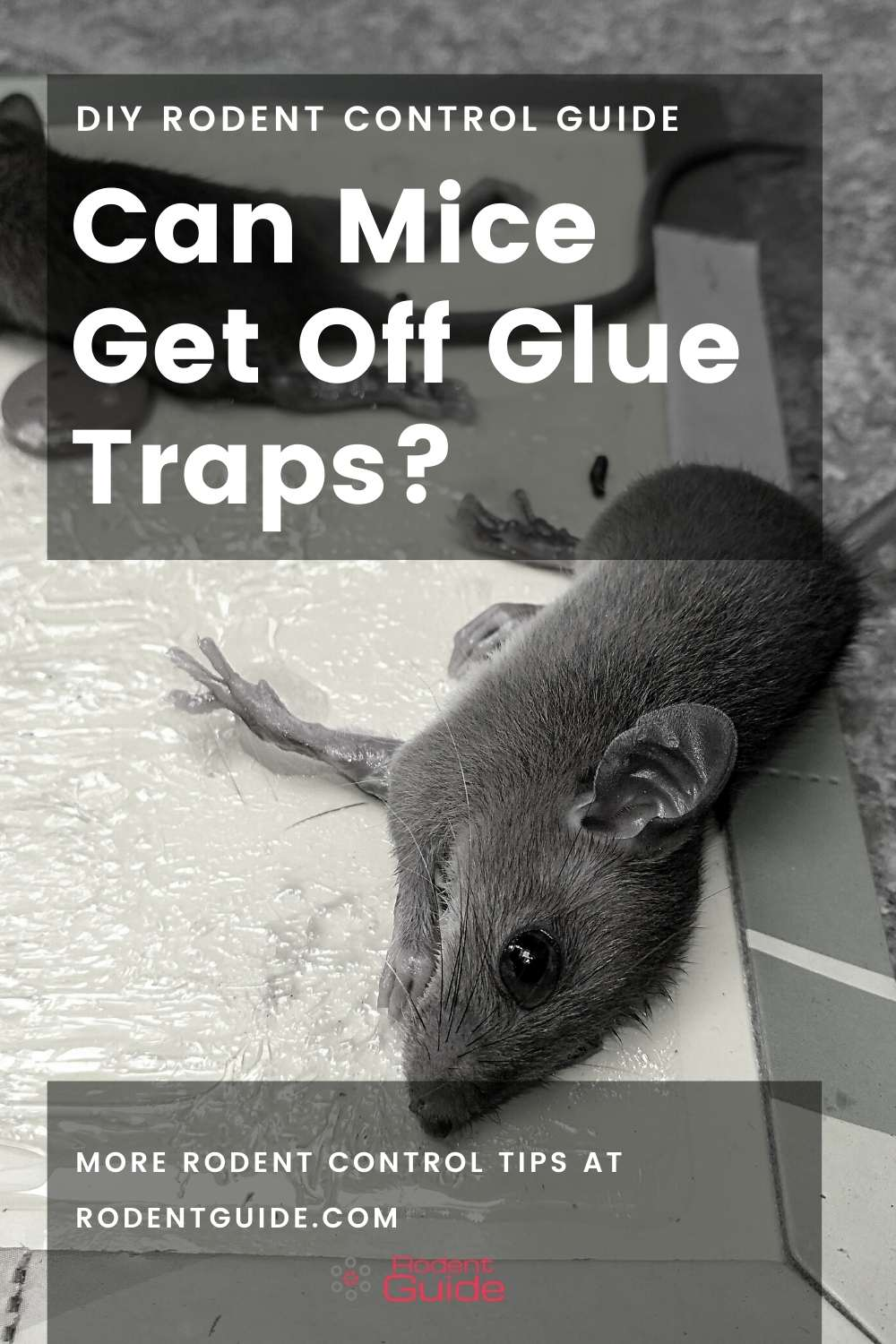 Can Mice Get Off Glue Traps (2)