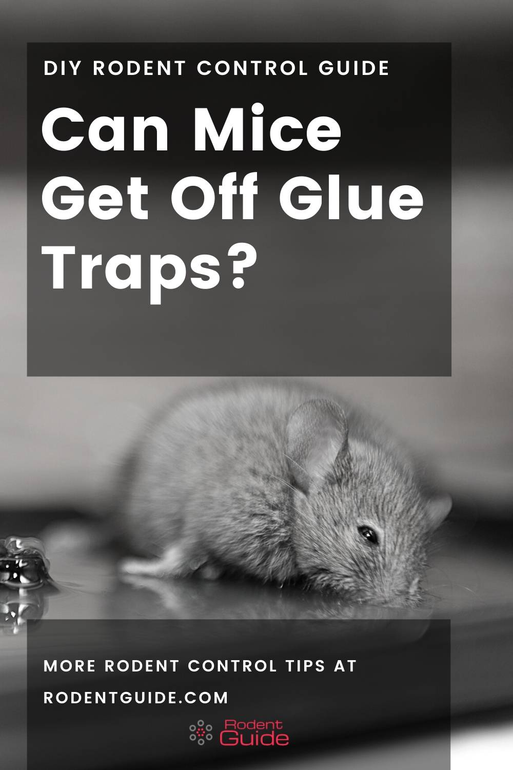 Can Mice Get Off Glue Traps_