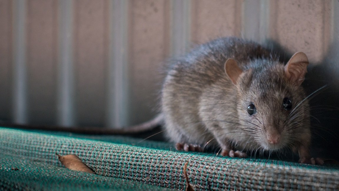 How Many Rats Are In Your House