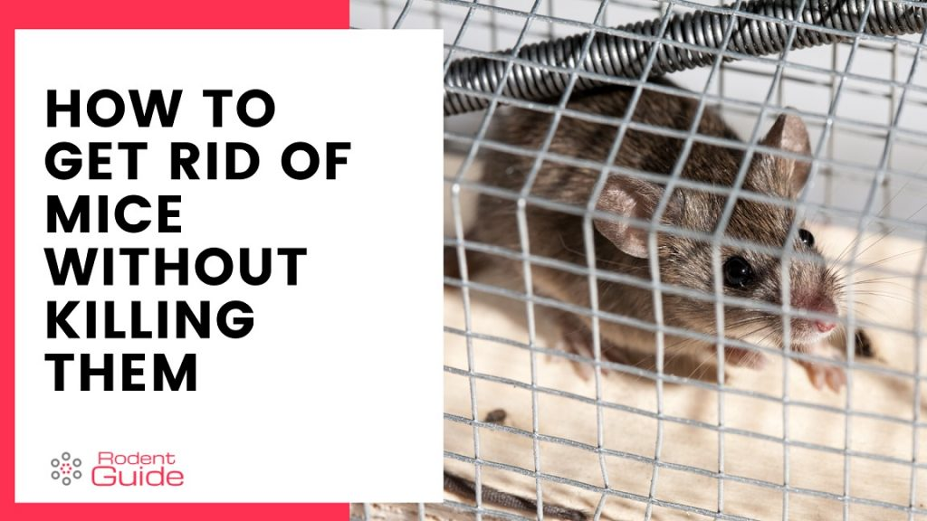 How To Get Rid Of Mice Without Killing Them