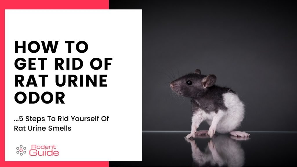 How To Get Rid Of Rat Urine Odor