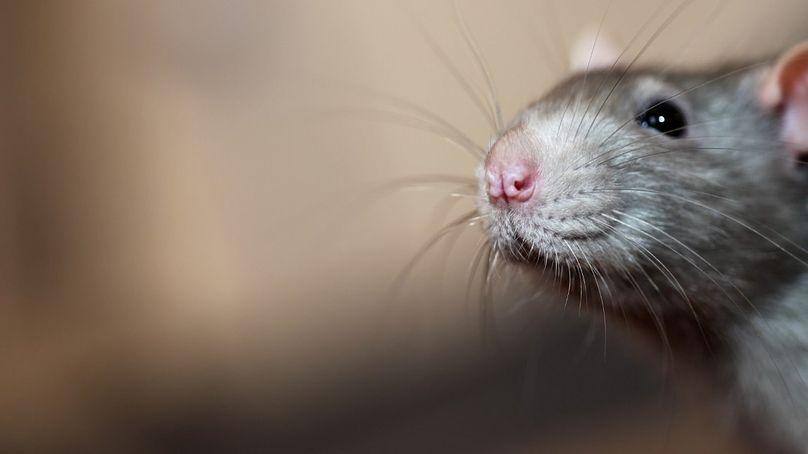 Rat Related Questions