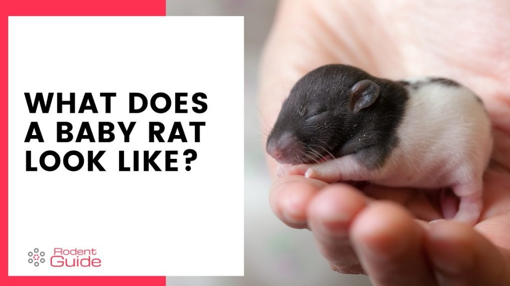 What Does A Baby Rat Look Like Description