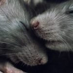 2 rats snuggling together