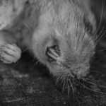 How To Dispose Of A Dead Rat - 5 Step Guide