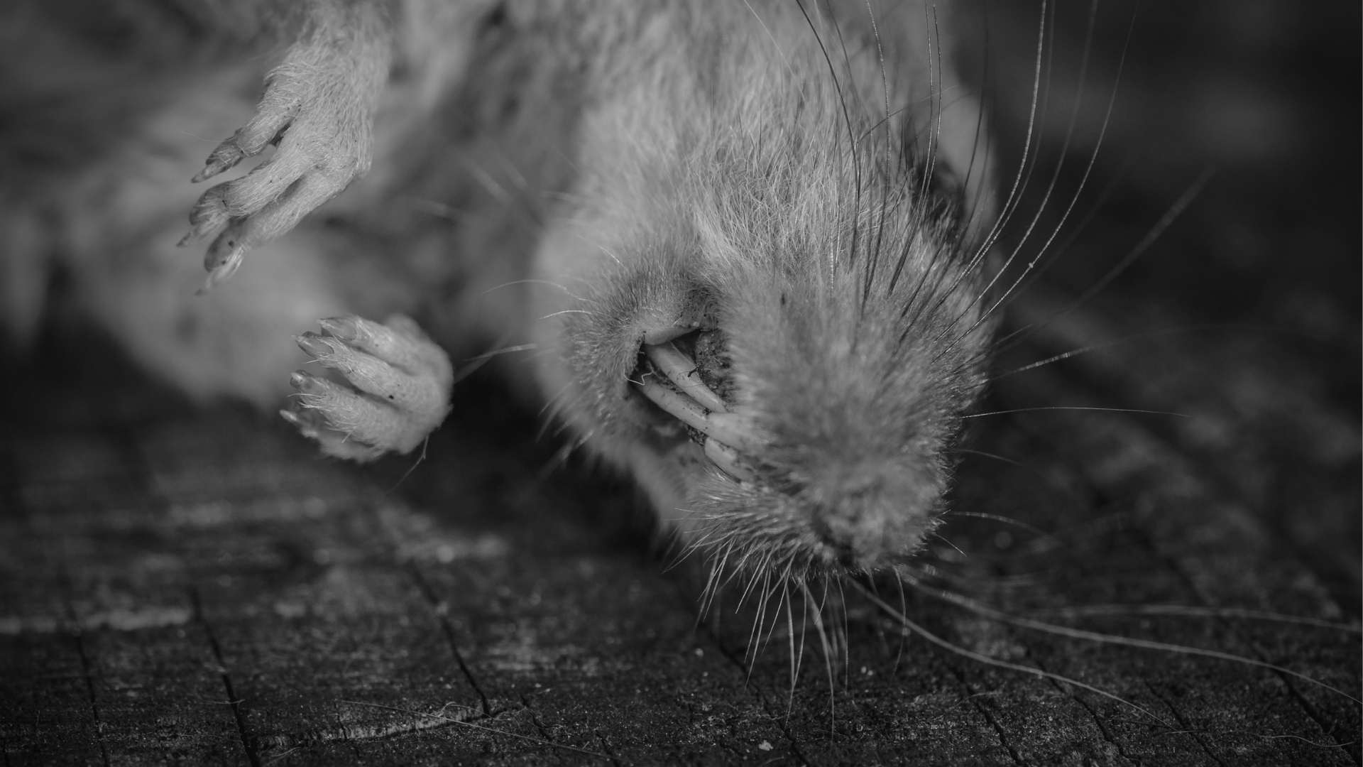 How To Dispose Of A Dead Rat (1)