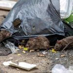 How To Get Rid Of Rats Outside - 5 Proven Tips