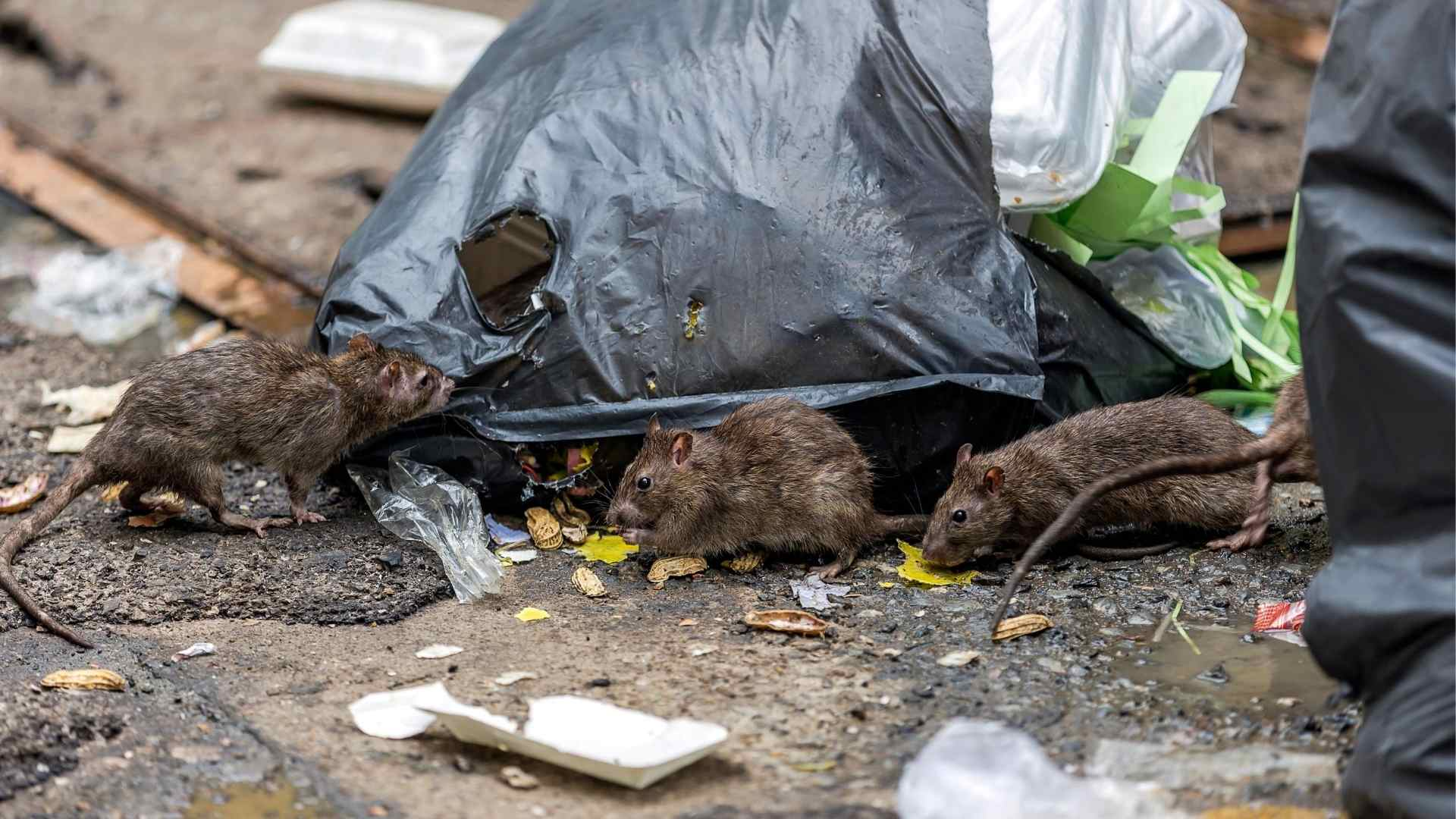 How To Get Rid Of Rats Outside your home (1)