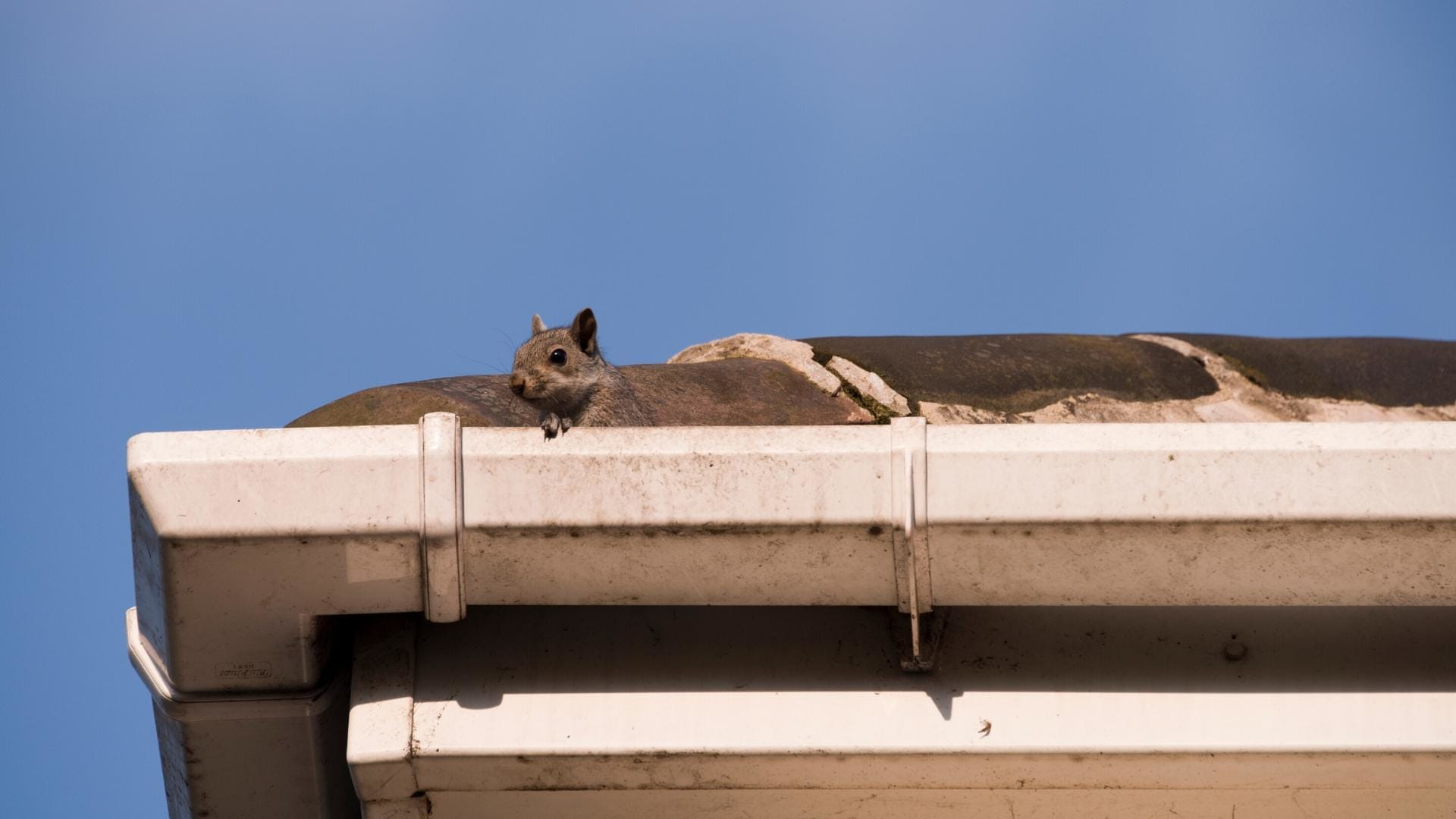 Signs of Squirrels in Your Attic 1