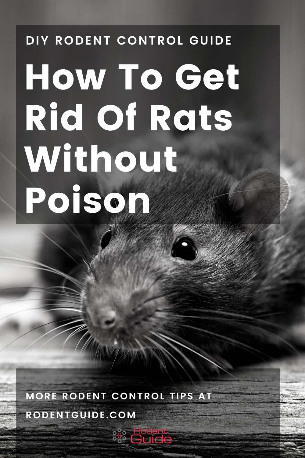 How To Get Rid Of Rats Without Poison (1)