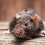 How To Get Rid Of Rats Without Poison - 5 Ways