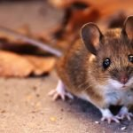 5 Most Common Noises That Mice Can Make