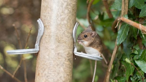 mouse eating bird food