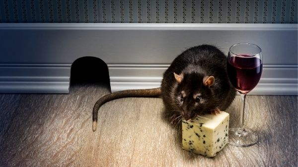 rat eating cheese on the floor of a house