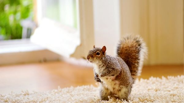 squirrel in a house on carpet