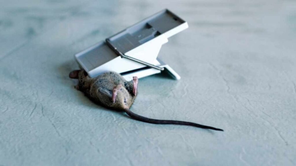 mouse in snap trap