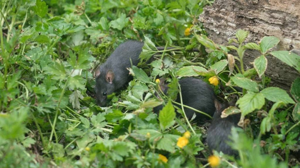 rats in yard