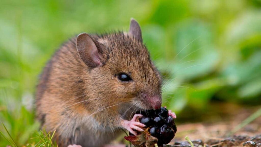 mouse eating fruit