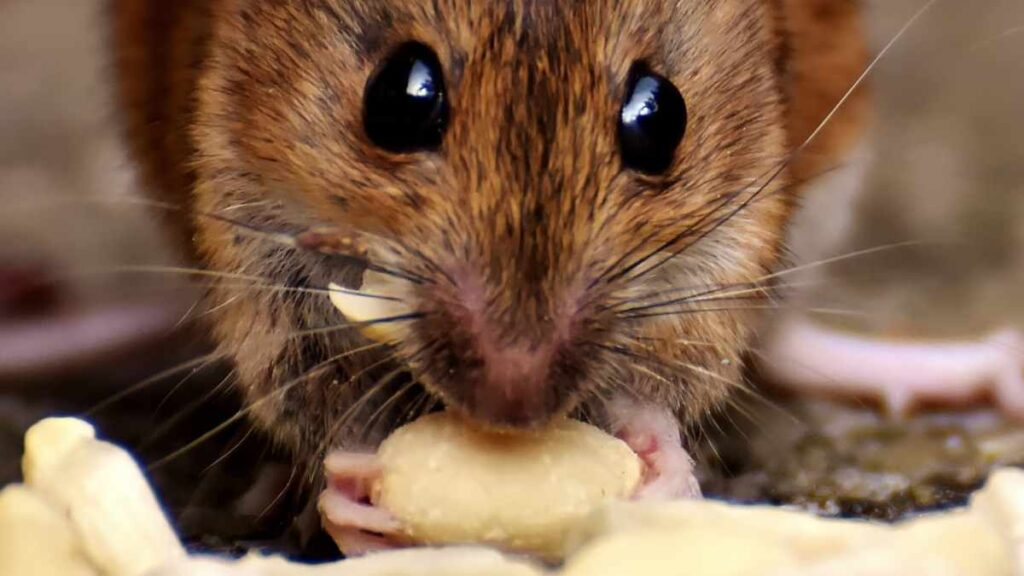 mouse eating nut
